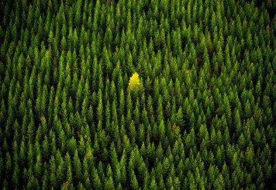 gmo tree fell in the forest 400x275 - Polémica por la comercialización de un árbol genéticamente modificado