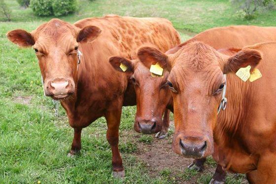 swedish-cow