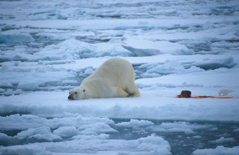 Politicos Noruegos Proponen Ubicar Refugiados En Las Remotas Islas Svalbard Donde Viven Mas Osos Polares Que Personas on Tundra Food Chain Pictures