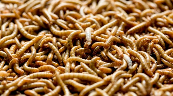 Mealworms used for human consumption are seen at the Kreca breeding facility in Ermelo April 4, 2014. REUTERS/Michael Kooren (NETHERLANDS - Tags: SOCIETY FOOD) - RTR3PG22