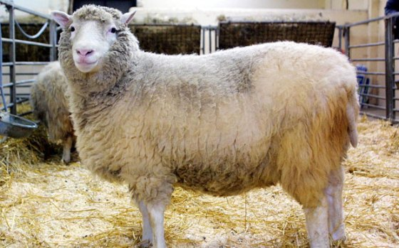 Dolly-the-sheep_3508433b