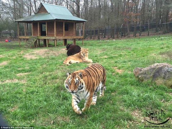 31BC19DB00000578-3472062-Baloo_Leo_and_Shere_Khan_live_play_eat_and_sleep_together_in_the-a-21_1456917451287